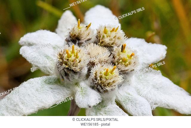Edelweiss blooming - macro photography