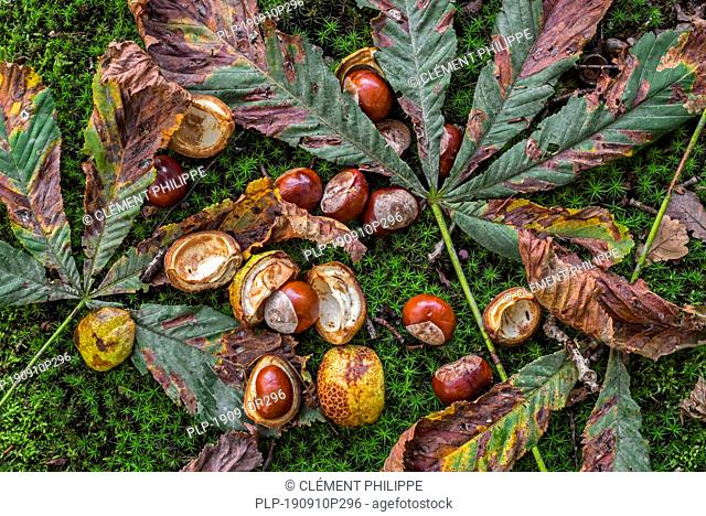 Fallen conkers / horse-chestnuts and leaves from the horse-chestnut tree / conker tree (Aesculus hippocastanum) on the forest floor in autumn woodland
