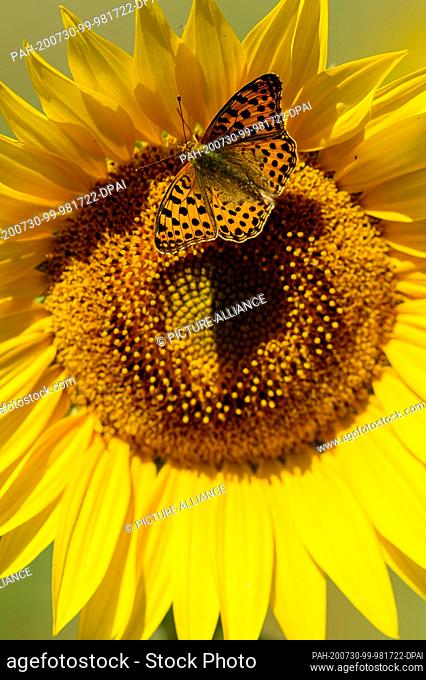 "30 July 2020, Saxony-Anhalt, Haldensleben: A butterfly, a """"little mother-of-pearl butterfly"""", sits on a sunflower. Midsummer has arrived in the country"