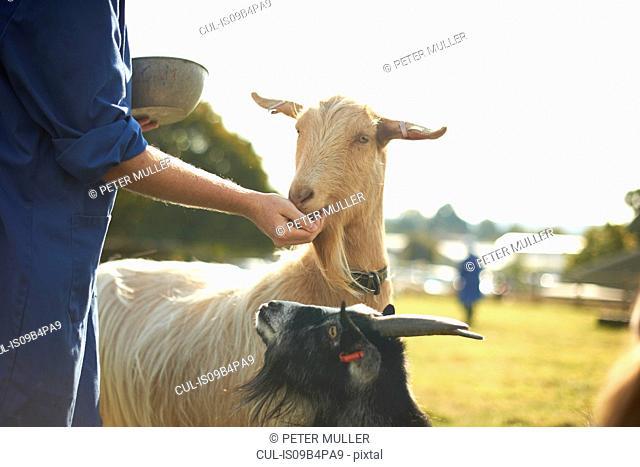 Farm worker tending to goats