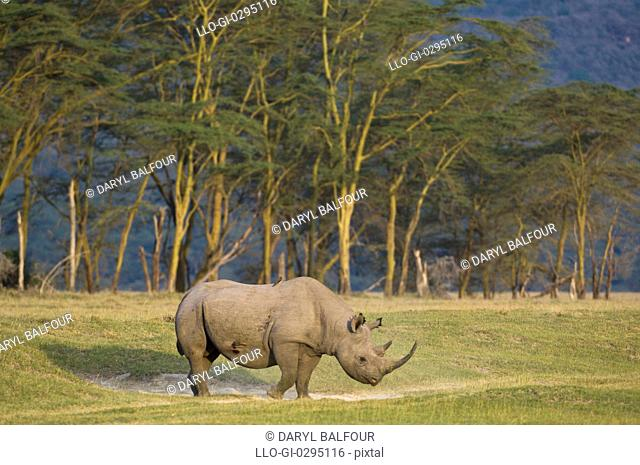 Black rhinoceros Diceros bicornis michaeli East African sub-species, Lake Nakuru National Park, Kenya
