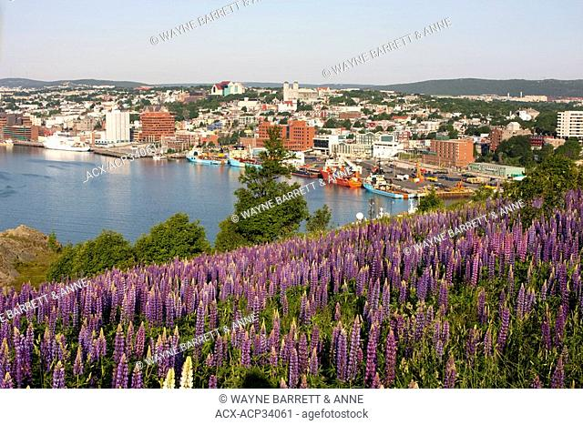 View of St. John's Harbour with lupines Lupinus perennis in foreground on Signal Hill National Historic Site, St. John's, Newfoundland and Labrador, Canada