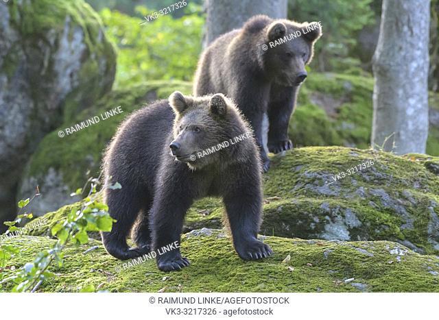 Brown bear, Ursus arctos, two cub, Germany