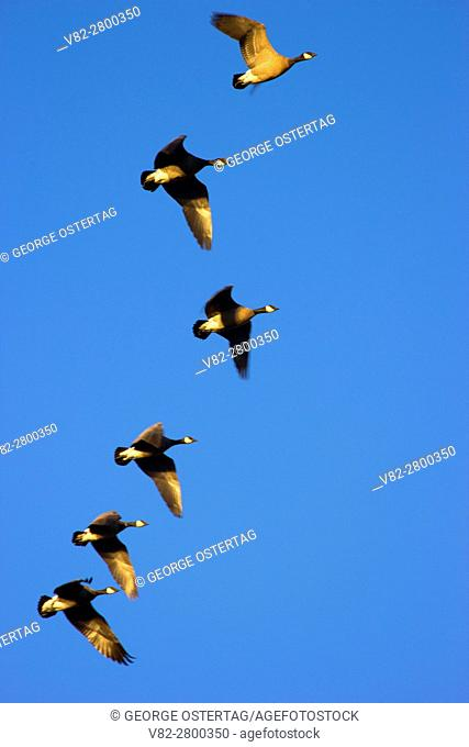 Canada geese (Branta canadensis) in flight, Baskett Slough National Wildlife Refuge, Oregon
