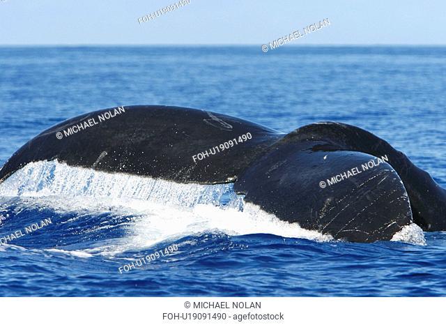 Adult humpback whale Megaptera novaeangliae fluke-up dive in the AuAu Channel, Maui, Hawaii, USA. Pacific Ocean