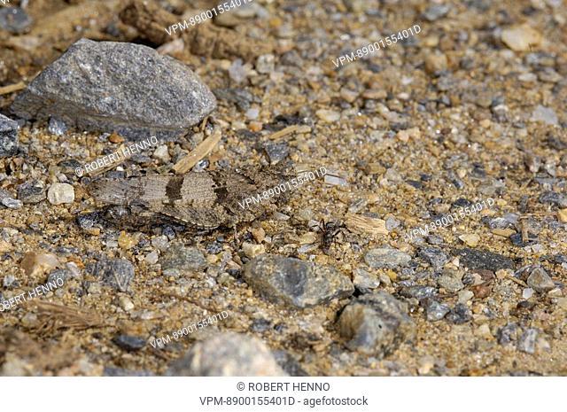 OEDIPODA CAERULESCENSBLUE-WINGED GRASSHOPPER
