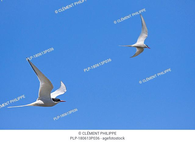 Two Arctic terns (Sterna paradisaea) in flight against blue sky, Scotland, UK