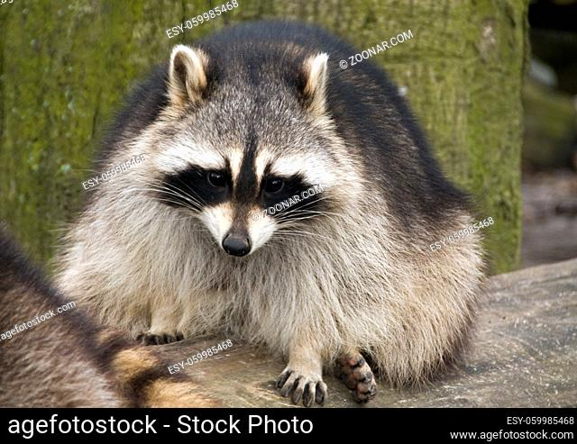 raccoon in the zoo in Holland Europe
