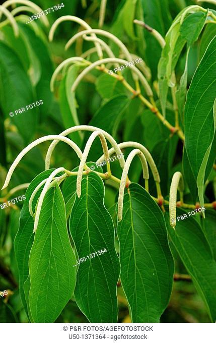 Plant of Pimenta Longa, Piper hispidinervum, Piperaceae, 2009