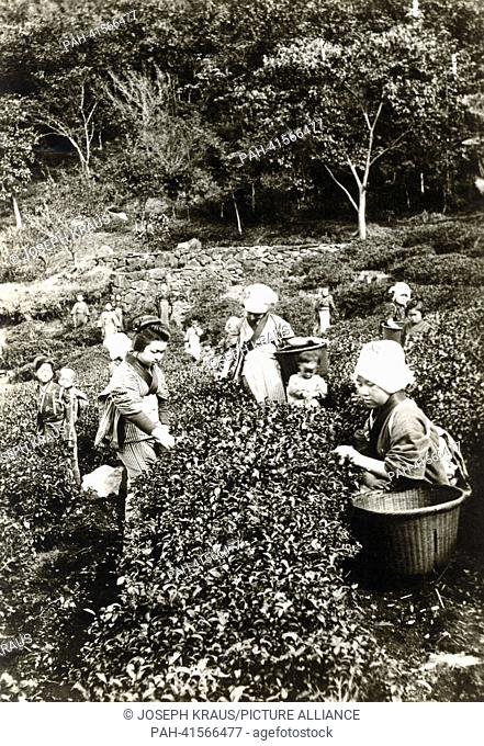 Harvesting tea. Pictured in the early 1920th. - /Japan