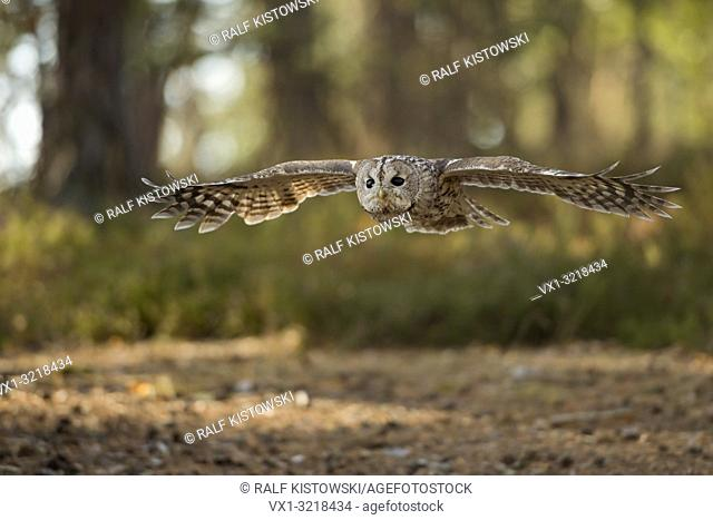 Tawny Owl / Waldkauz ( Strix aluco ) in gliding flight, flying over a clearing, stretched wings, wingspan, surrounded by an autumnal coloured forest, Europe