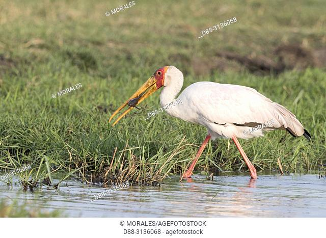 Africa, Southern Africa, Bostwana, Chobe i National Park, Chobe river, Yellow-billed Stork (Mycteria ibis).catch a cat fish