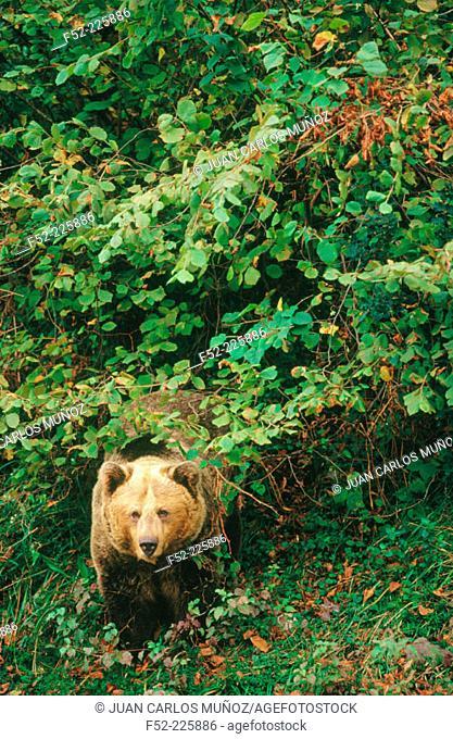 Oso Cantábrico or Brown Bear (Ursus arctos). Spain