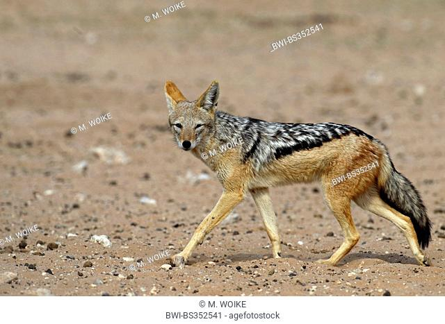 black-backed jackal (Canis mesomelas), walking in the semi-desert, South Africa, Kgalagadi Transfrontier National Park