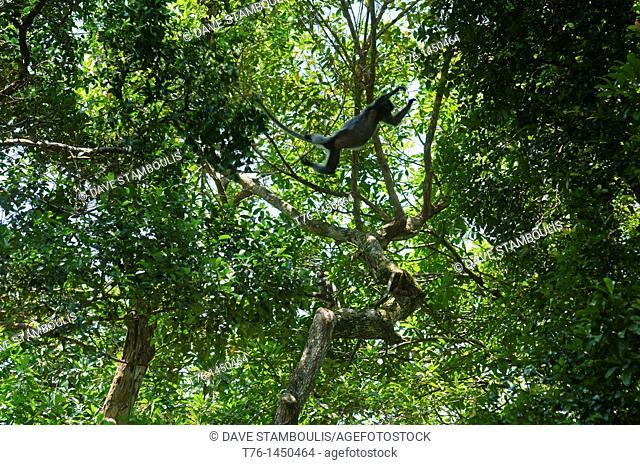 silverleaf monkey  Trachypithecus cristatus in Bako National Park in Sarawak, Borneo, Malaysia
