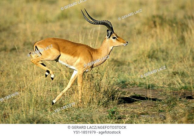 Impala, aepyceros melampus, Male running on Dry Grass, Kenya