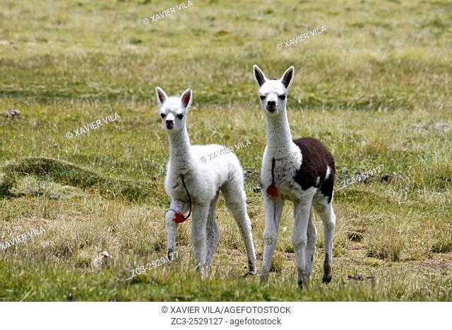 Young lamas, National park of Sajama, Altiplano, Bolivia