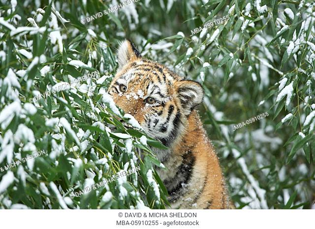 Siberian tigers, Panthera tigris altaica, young animal, winter, head-on, undergrowth, looking into camera