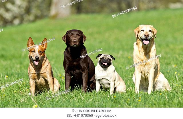 Australian Cattle Dog, pug and pair of Labrador Retrievers sitting on a meadow. Germany