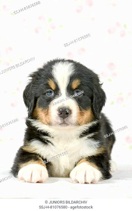 Bernese Mountain Dog. Puppy (5 weeks old) lying, seen head-on. Studio picture. Germany