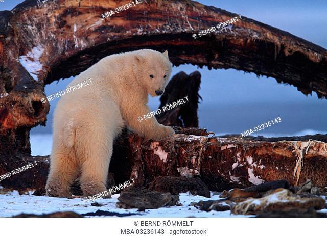 North America, the USA, Alaska, North Alaska, Arctic Nationwide Wildlife Refuge, Kaktovik, polar bear, Ursus maritimus