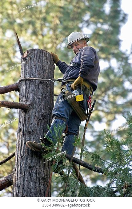 Logger on trunk of tree after having removed top section