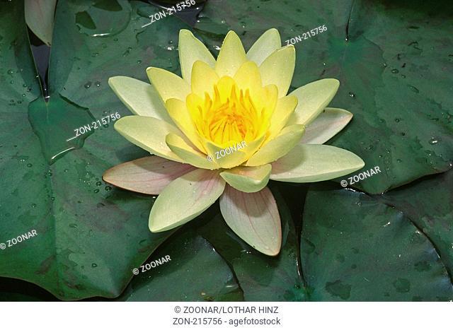 Nymphaea-Hybride, Hybrid-Seerose