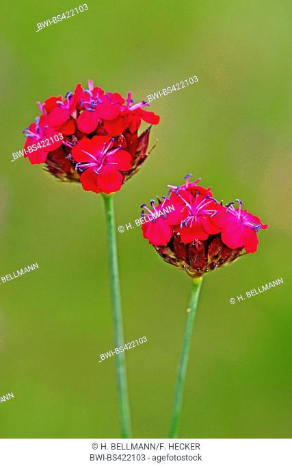 Carthusian pink, Clusterhead pink (Dianthus carthusianorum), blooming, Germany