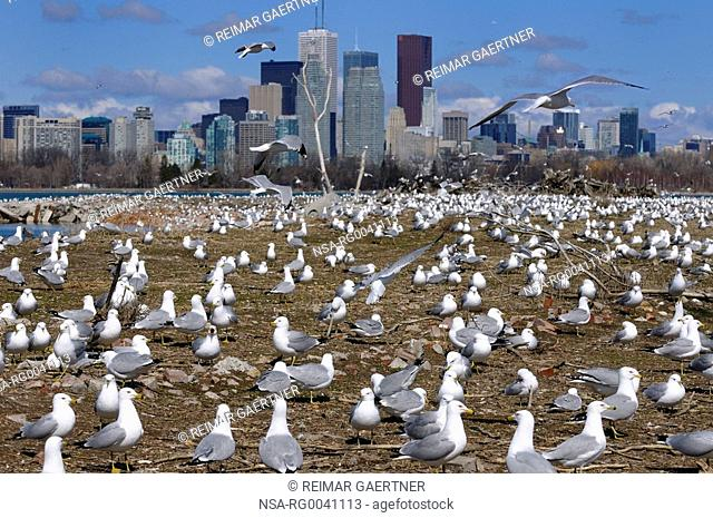 Crowd of Ring Billed Gulls at Leslie Street Spit nesting grounds