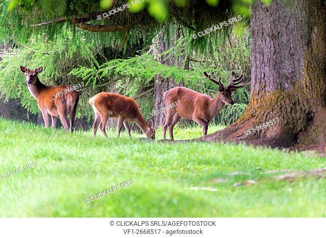 Italy, Trentino Alto Adige, Paneveggio nature park, Red deer