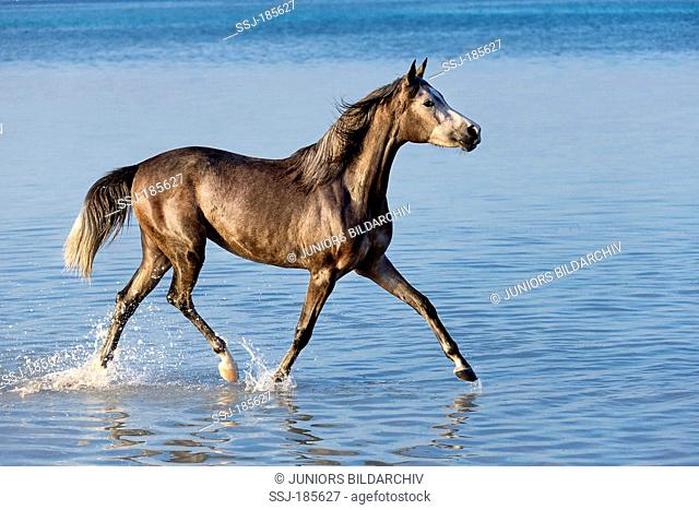 Arabian Horse. Gray mare trotting in shallow water. Egypt