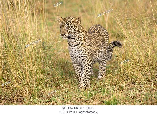 Young Leopard (Panthera pardus), Masai Mara, Kenya, East Africa