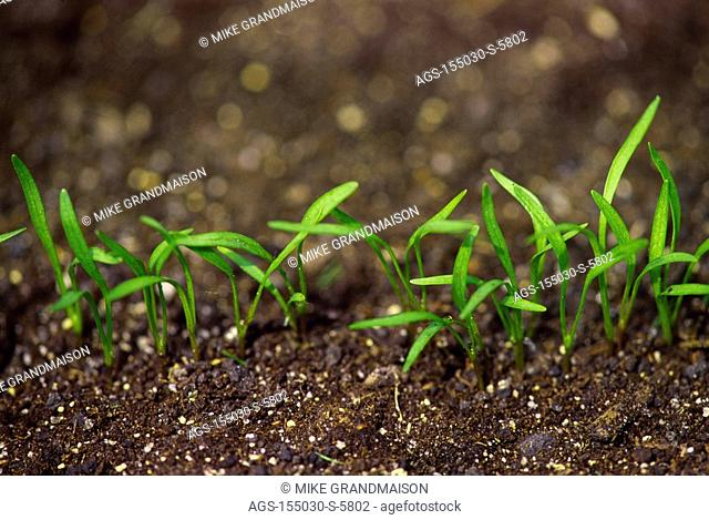 Agriculture - Closeup of carrot seedlings shortly after germination / Canada - MB, nr. Winnipeg