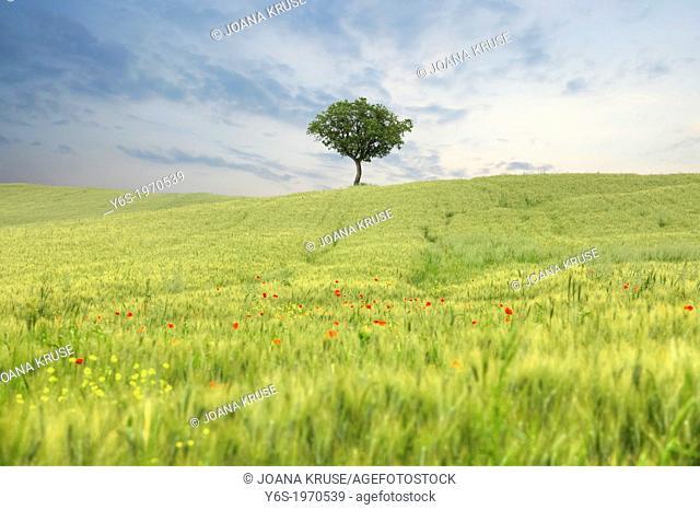 a tree on a field with corn poppies near Pienza, Tuscany, Italy