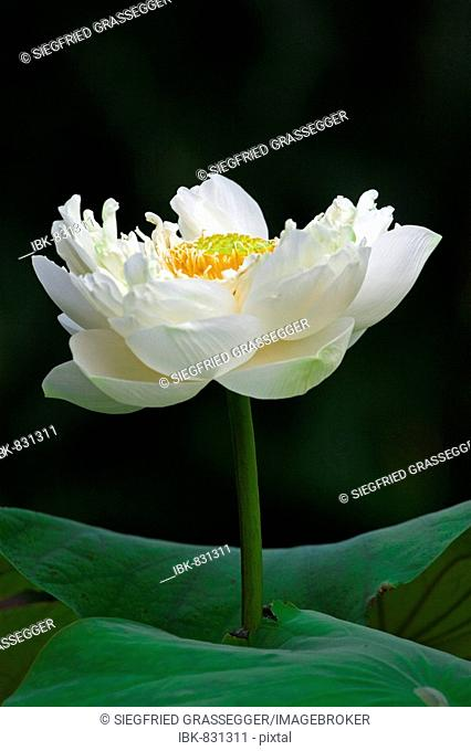 Tiger Lotus or Egyptian White Water-lily (Nymphaea lotus) from Egypt
