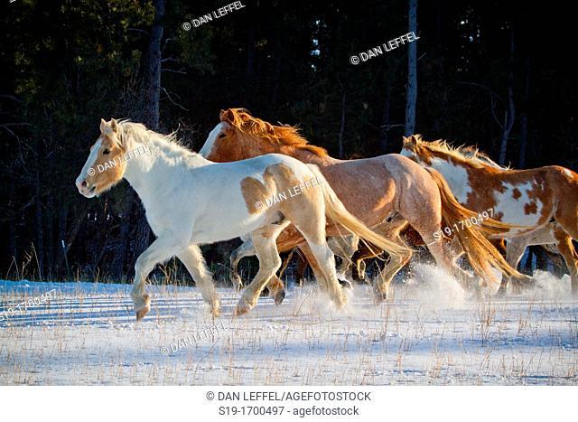 Herd of horses galloping or running