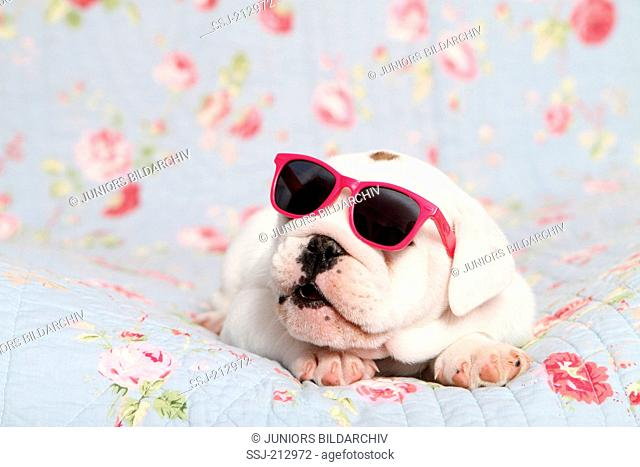 English Bulldog. Puppy (7 weeks old) wearing sunglasses on a blue blanket with rose flower print. Germany