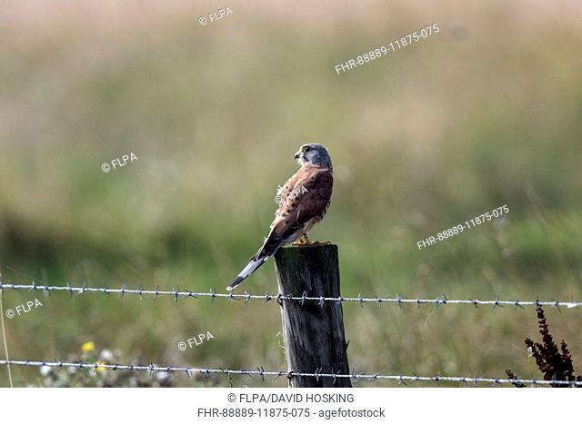Male Kestrel on fence post - Deepdale Marsh Norfolk