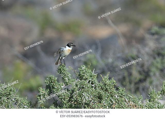 Canary Islands stonechat (Saxicola dacotiae). Male with food for its chicks taking flight. Esquinzo ravine. La Oliva. Fuerteventura. Canary Islands