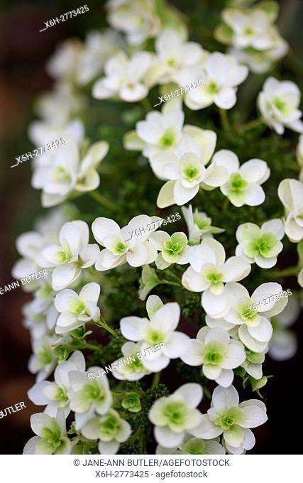 dainty white Summer flowering hydrangea 'snowflake' - flourish