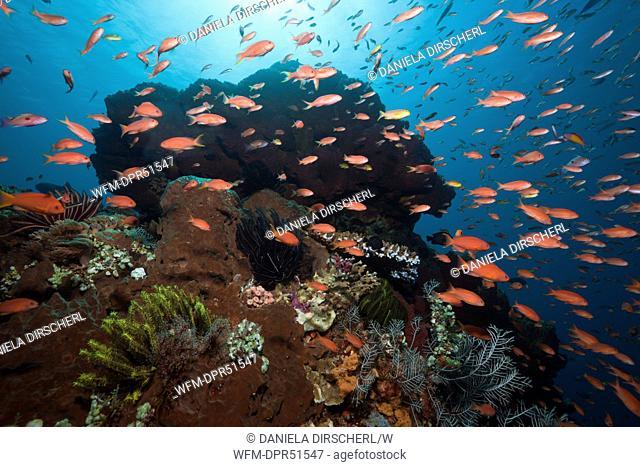 Lyretail Anthias in Coral Reef, Pseudanthias squamipinnis, Nusa Penida, Bali, Indonesia