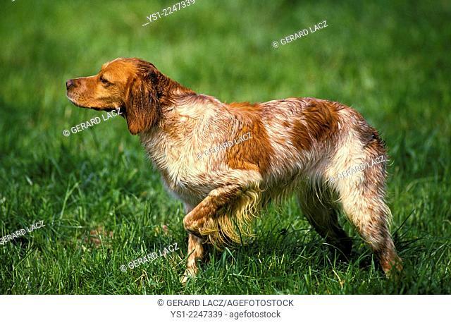 Britanny Spaniel, Dog Pointing