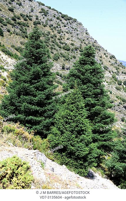 Spanish fir (Abies pinsapo) is a coniferous tree endemic to Cadiz and Malaga provinces. This photo was taken in Puerto de las Palomas, Cadiz province, Andalucia
