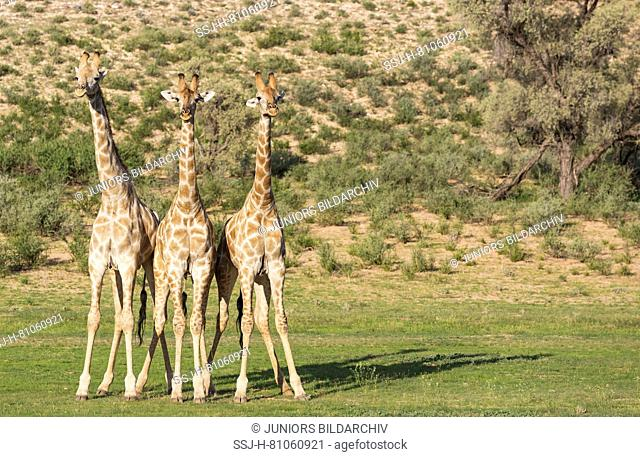 Southern Giraffe (Giraffa giraffa). Three males about to start fighting
