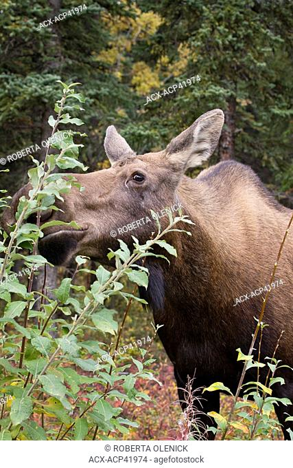 Moose Alces alces gigas, cow eating willow Salix sp., just south of Denali National Park, Alaska, United States of America