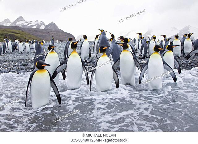 King Penguin Aptenodytes patagonicus breeding and nesting colonies on South Georgia Island, Southern Ocean King penguins are rarely found below 60 degrees south