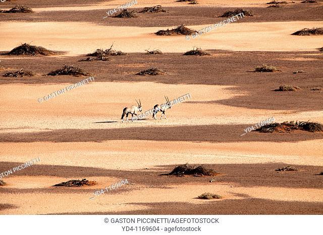 Gemsboks Oryx gazella, walking through the Hidden Vlei, Namib-Naukluft National Park, Namib desert, Namibia