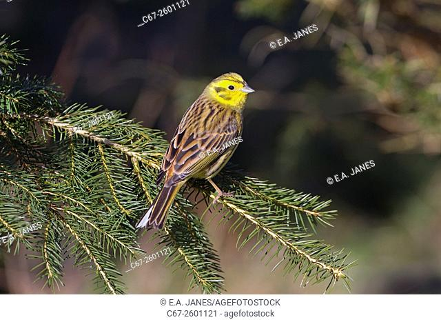 Yellow Hammer Emberiza citinella in March