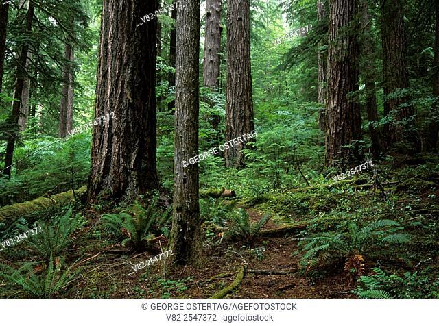 Ancient forest, Quartzville Creek Wild & Scenic River, Quartzville National Back Country Byway, Oregon