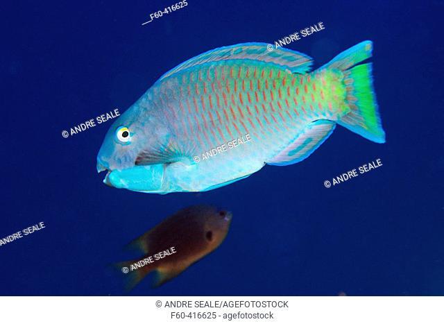 Pacific steephead parrotfish (Chlorurus microrhinos). Namu atoll, Marshall Islands (North Pacific)